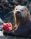 All Canada Photos (F1 Online) - Nord-Amerikaner, Lontra-Canadensis