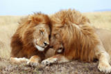 Frank Stober (F1 Online) - Two male lions (Panthera leo) lying side by side, Masai Mara National Reserve, Kenya