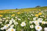Beate Münter (F1 Online) - Meadow with blooming dandelion and daisy, Allgaeu, Germany