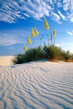 Alaskastock RM (F1 Online) - Blooming Yucca Plant in middle of windblown sand dunes White Sand Dunes Nat Monument New Mexico USA