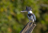 Jim Cumming - Belted kingfisher with fish